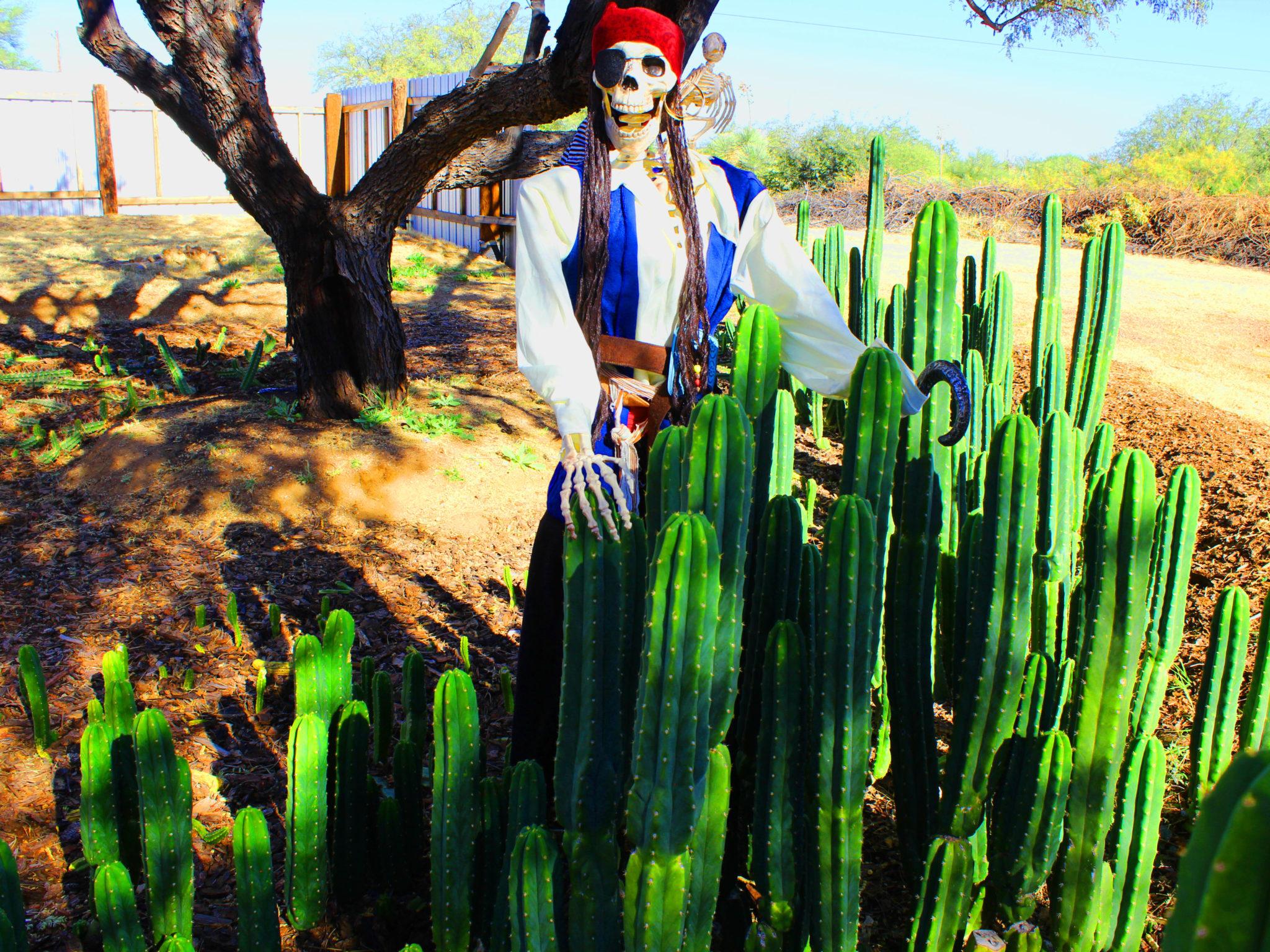 Cactus Jack, San Pedro Cacti, Trichocereus Pachanoi, Peruvian cacti, sale, buy