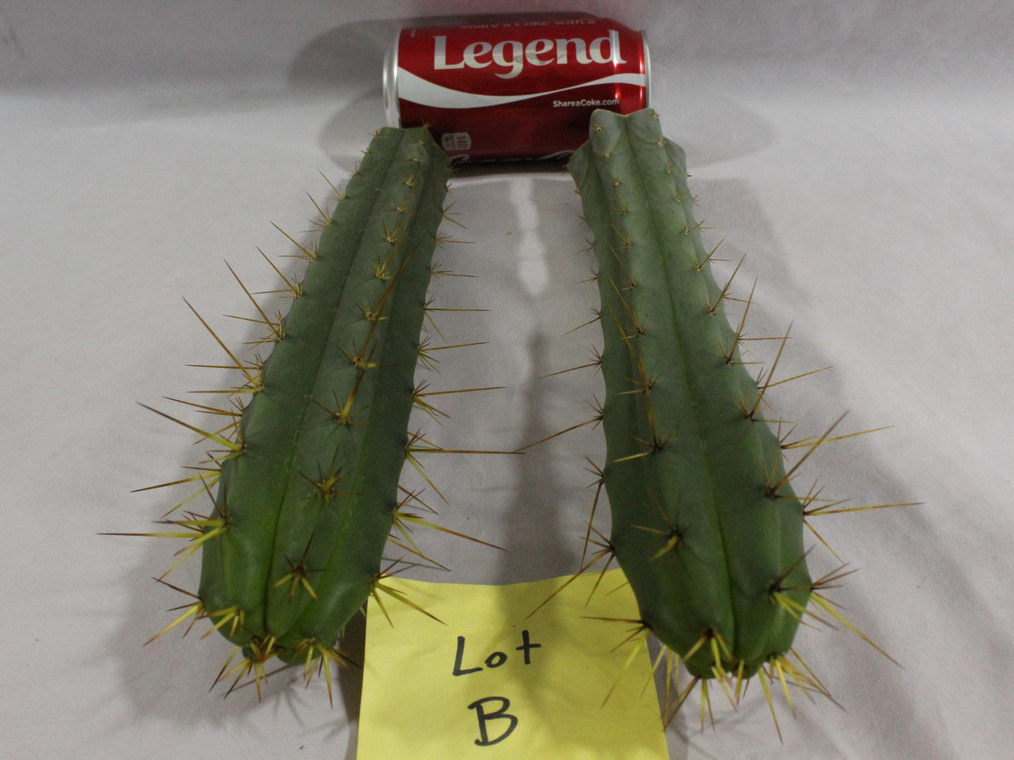 Buy Bridgesii cacti here