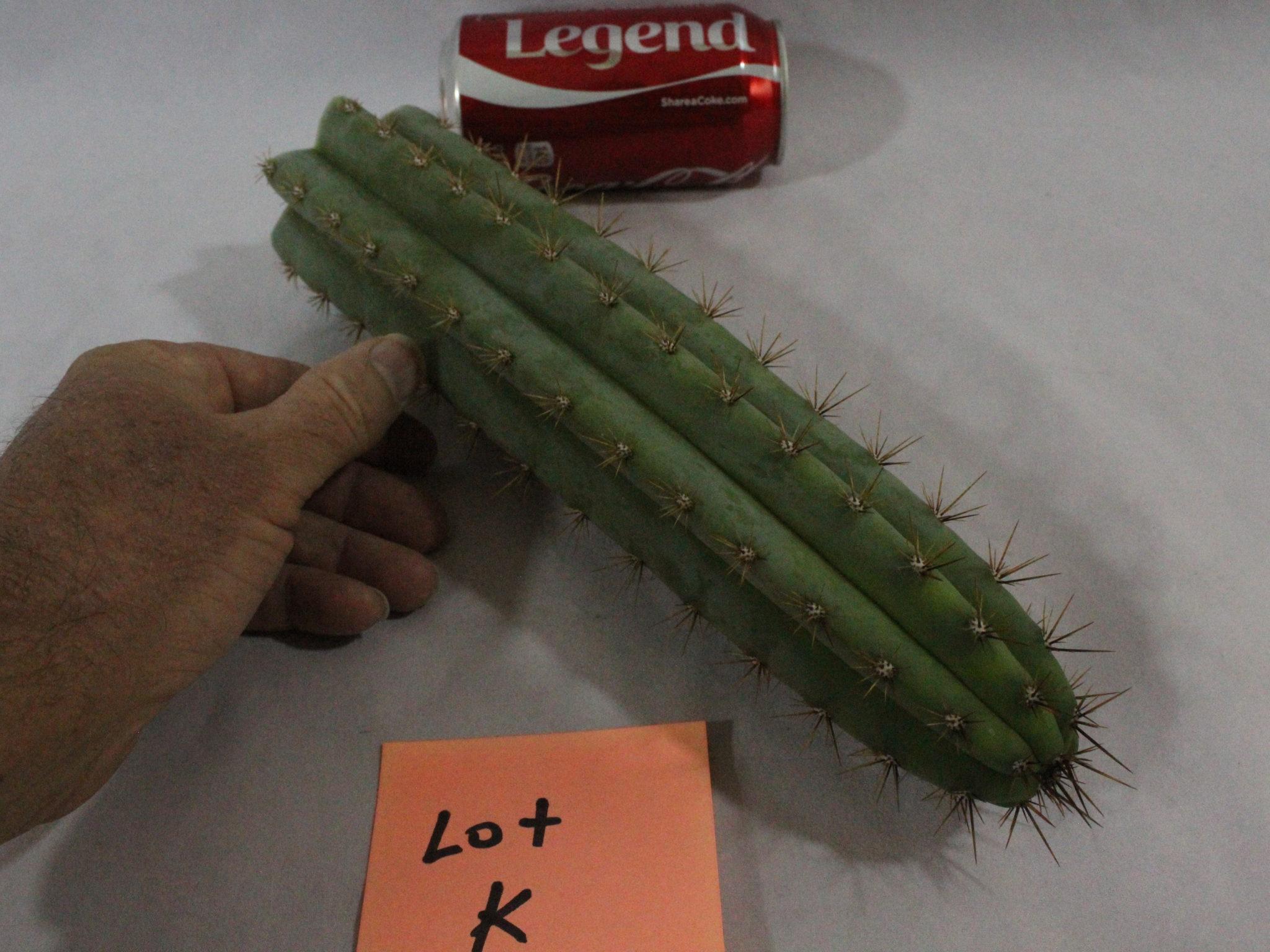 Peruvianus KK242 Cactus