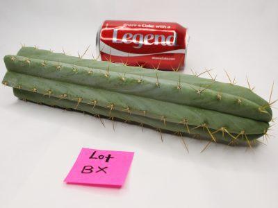 Trichocereus Bridgesii Santaensis Cactus