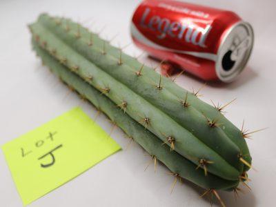 Trichocereus Lumber Jack Cactus for Sale