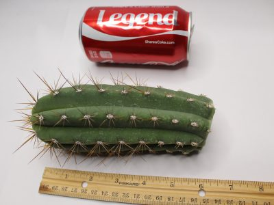 Trichocereus Werdermannianus Backeberg Cacti